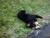 Caro.74 - éleveur canin Dogzer