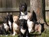 Sweet-Molosse - éleveur canin Dogzer