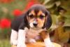 Sarsouille - éleveur canin Dogzer