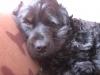 Calypso. - éleveur canin Dogzer