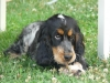 clacla35120 - éleveur canin Dogzer