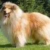 Lisa11 - éleveur canin Dogzer