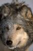 pichu33 - éleveur canin Dogzer