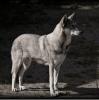 A.Wolf - éleveur canin Dogzer