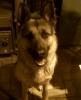 love-sells-dream - éleveur canin Dogzer