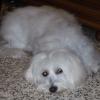 gipsy62530 - éleveur canin Dogzer