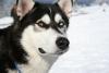 Mikadofifi - éleveur canin Dogzer