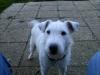 poopii - éleveur canin Dogzer