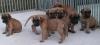 clarademolli - éleveur canin Dogzer