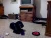 julia2B - éleveur canin Dogzer