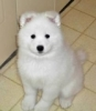Cappucinodu21 - éleveur canin Dogzer