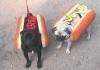chienroux2 - éleveur canin Dogzer