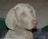 diamante13 - éleveur canin Dogzer