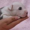 AmstaffLO - éleveur canin Dogzer