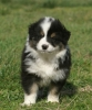 Chihuahua2294 - éleveur canin Dogzer