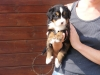 romaneanaelle - éleveur canin Dogzer