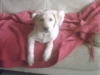 SIMONE62300 - éleveur canin Dogzer