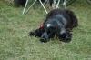 droopy-one - éleveur canin Dogzer