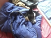 alexanais26 - éleveur canin Dogzer