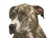 AmstaffForever - éleveur canin Dogzer