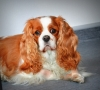 handlerangelo - éleveur canin Dogzer