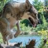 Groenlandais - éleveur canin Dogzer