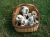 Snoboll - éleveur canin Dogzer