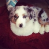 Clarabouille - éleveur canin Dogzer