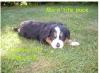 misseleveuse - éleveur canin Dogzer