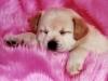 celiapoyet - éleveur canin Dogzer