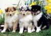 Fanschien00 - éleveur canin Dogzer