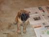 amandine2006 - éleveur canin Dogzer