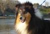 colliegirl23 - éleveur canin Dogzer