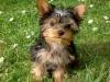 yorkshire-elevage - éleveur canin Dogzer