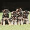 AnThO1999 - éleveur canin Dogzer