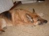 hysteriana - éleveur canin Dogzer