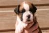 MeliiOne - éleveur canin Dogzer
