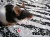 magrigane - éleveur canin Dogzer