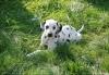 leomistyroxi - éleveur canin Dogzer