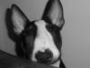 candaulea - éleveur canin Dogzer