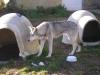 angi-marie - éleveur canin Dogzer