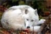 sajuce - éleveur canin Dogzer