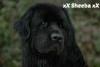 xXSheebaXx - éleveur canin Dogzer