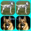 labrador4_05 - éleveur canin Dogzer