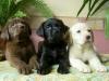 curlyyy - éleveur canin Dogzer