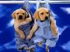 majolyn - éleveur canin Dogzer