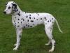 dalmatiens31 - éleveur canin Dogzer