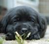 Jo-Vi - éleveur canin Dogzer