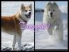 samoyedo2 - éleveur canin Dogzer