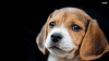 Mdrr34 - éleveur canin Dogzer